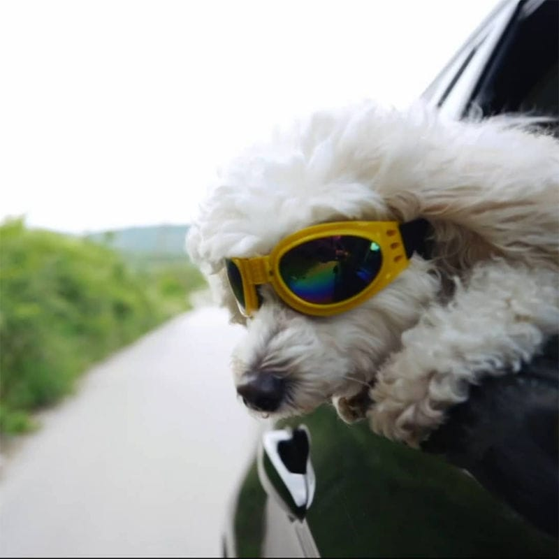Dog With Sunglasses With Head Out of Moving Car